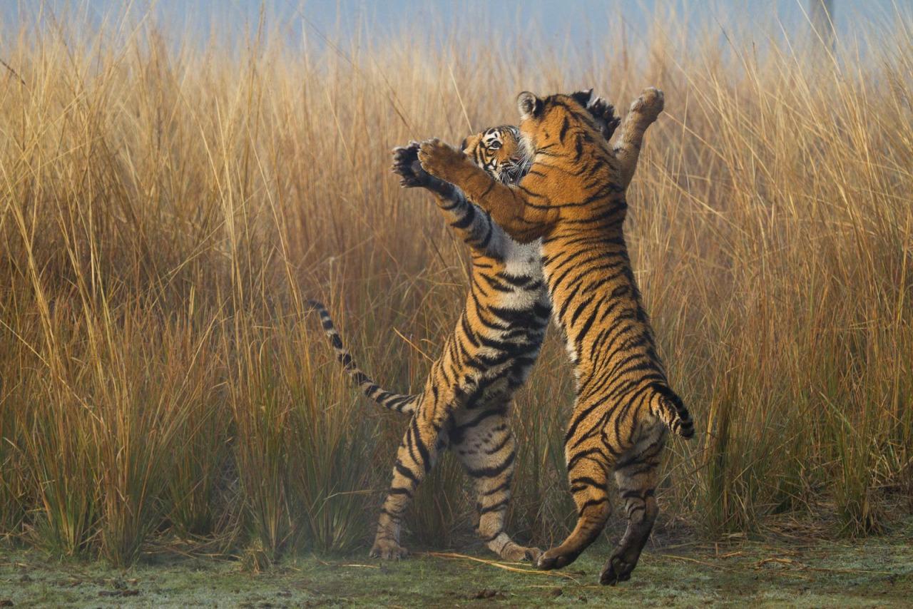 ФОТО: Бенгалски тигри го изведуваат најопасното, но и најслатко танго во светот