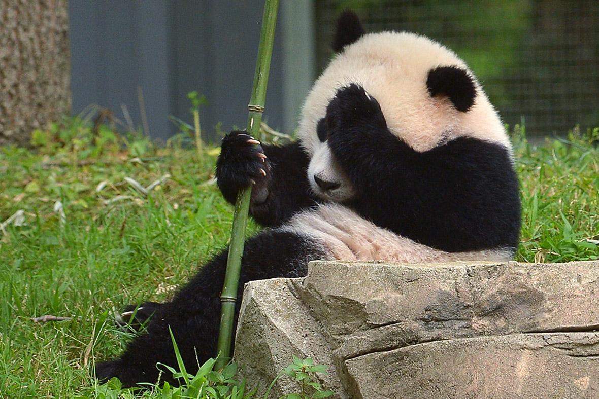 Научниците тврдат дека го дешифрирале јазикот на пандите